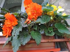 DSCN2804 (antoniacuantica) Tags: begonie begonia portocaliu orange floare flower