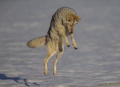 Vole Slayer going for the kill (Hank Halsey) Tags: hhdx8043cr2 coyote yellowstonenationalpark hankhalseyphotography