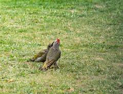 R75_8025 (53Ruth) Tags: nikond750 tamron70200mm vogel specht grünspecht natur garten rasen wiese