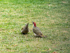 R75_8022 (53Ruth) Tags: nikond750 tamron70200mm vogel specht grünspecht natur garten rasen wiese
