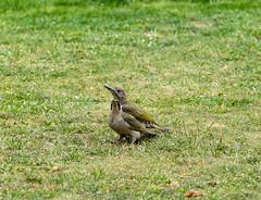 R75_8020 (53Ruth) Tags: nikond750 tamron70200mm vogel specht grünspecht natur garten rasen wiese
