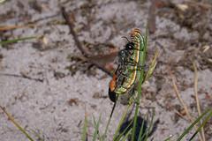 Raupenschlepper -  Eine Gemeine Sandwespe (Ammophila sabulosa) transportiert eine Raupe der Kieferneule (Panolis flammea) in großer Eile durch das Gras zu ihrem Nest (AchimOWL) Tags: insekt insect tier tiere animal makro macro outdoor g9 natur nature lumix panasonic ngc macrodreams wildlife fauna raupe eulenfalter raupenschlepper sand heide senne moosheide sandwespe ammophila hautflügler hymenoptera gemeinesandwespe raupederkieferneule panolisflammea kieferneule deutschland