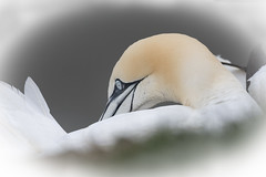 Gannet (cazalegg) Tags: gannets rspb bempton cliffs yorkshire birds sea wildlife nature eyes nikon d500