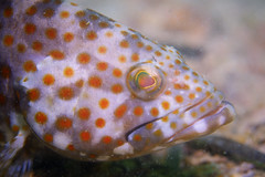 Duskytail Grouper Portrait Jul 2019 (Gomen S) Tags: animal wildlife nature fish hongkong hk china asia tropical 2019 summer afternoon diving underwater macro d500 nikon 60mmmicro