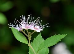 Floral Fireworks (jmunt) Tags: flower garden shrub spirea