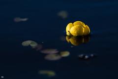 ''Aquatique!'' Nunéphar (pascaleforest) Tags: flower water eau lumière light canada quebec nature nikon passion fleur