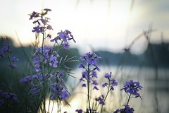 wildflowers and the golden river (8-ballmabelleamie) Tags: foxriver haze mist dawn morning flowers purple riverbank