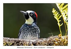 Acorn woodpecker (Jan H. Boer, Nature photographer) Tags: melanerpesformicivorus acornwoodpecker eikelspecht birds nature wildlife woodpeckers portrait costarica sangerardodedota nikon d500 afsnikkor200500f56eedvr jan´sphotostream2019