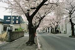 Still on the tree (しまむー) Tags: minolta srt101 mc rokkor 50mm f14 kodak gold 200 桜