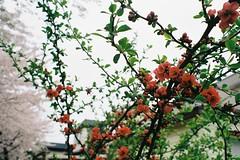 Bokeh and bokeh (しまむー) Tags: minolta srt101 mc rokkor 50mm f14 kodak gold 200 桜