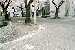 Snowy in spring (しまむー) Tags: minolta srt101 mc rokkor 50mm f14 kodak gold 200 桜