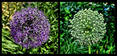 Before and After --- Vorher und nachher (Walkuere123) Tags: beforeandafter nikonz6 allium gardenflowers flowers seedpods summer afsnikkor20mmf18ged nikkorz35mmf18s plant outdoor vorherundnachher
