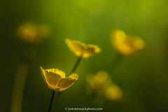 Bouton d'or (Yves Kéroack) Tags: canada godmanchester québec ranunculus boutondor buttercups ensoleillé extérieur fleur flower jaune macro magnificum matin morning nature outside renoncule summer sunny yellow été