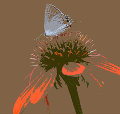 somewhere in the sunshine of my memory (nattybumppo*) Tags: nature art butterfly hairstreak flower color wildlife interpretation feeling memory