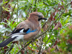 British Jay (Pendlelives) Tags: nature wildlife countryside bird birds ornithology pendle pendlelives nikon p1000 clairty vibrant vibrance colne nelson background animals colours colour color feathers canal leeds liverpool tree leaves jay jays eurasian british uk