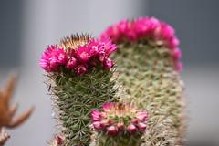 Mammillaria (esta_ahi) Tags: penedès flor flora flores cactus cactaceae mammillaria