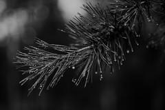 Иглы / Needles (spoilt.exile) Tags: украина киев лесное лес ветвь сосна дождь капли бокэ природа чб чернобелое ukraine kiev kyiv lesnoye forest branch pine rain drops bokeh nature bw blackandwhite