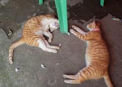 P1091376_LR (enno7898) Tags: panasonic lumix lumixg9 dcg9 olympus mzuiko 1240mm f28 cat animal