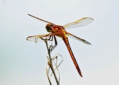 Needham's Skimmer ( Libellula needhami) (Susan Roehl) Tags: •naplesbotanicalgardens 60acrewildlifereserve naples fl usa needhamsskimmer female libellulaneedhami skimmer dragonfly libellulidaefamily caribbean centralamerica northamerica iucnleastconcern noimmediatethreat stablepopulation sueroehl panasonic lumixdmcgh4 100x400mmlens handheld cropped ngc coth5 npc