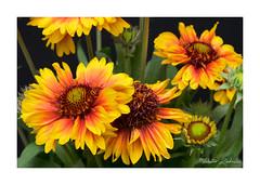 Gaillardia (PeteZab) Tags: gaillardia flower yellow red plant petal nature colour colourful peterzabulis
