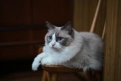 nico (Typ250) Tags: ragdoll cat leicam leica leicam10p m10p sonnar sonnar12f5cm sonnar5cmf2 carlzeiss carlzeissjena carlzeissjenasonnar12f5cm
