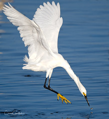 Honing In (craig goettsch) Tags: dingdarlingnwr egret snowyegret bird avian nature wildlife animals florida nikon d500