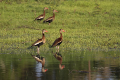 Black-bellied Whistling ducks (Canon Queen Rocks (3,000,000 + views)) Tags: ducks birds wildlife water wings reflections colours blackbelliedwhistlingducks grass panama centralamerica nature naturephotography waterfowl
