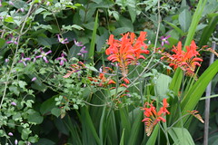 Crocosmia Lucifer (amoamas07) Tags: flower garden crocosmialucifer