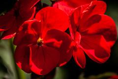 red geranium (steamnut777) Tags: red flower geranium garden canon 1d