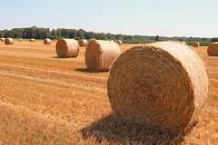 Balle Piemontesi. (giuselogra) Tags: torino turin piedmont piemonte italy italia campagna agricoltura agriculture