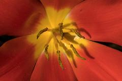 IMG_1602 (Lightcatcher66) Tags: tulpen makros lightcatcher66