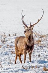 IMG_65372019_02_14 Sika Deer, Japan EOS 5D Mark IV (Sugar Beet Pete) Tags: sikadeer hokkaido japan snow animal