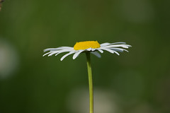 from the side (Håkan Jylhä (Thanks for +1000000 views)) Tags: prästkrage blomma flower white yellow vit gul håkan jylhä sweden sverige summer sommar sony rx10iv