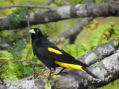 Xexéu (Alexandre Marino) Tags: xexéu cacicuscela pássaros birds aves