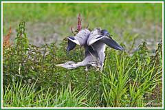 Héron cendré 190706-02-P (paul.vetter) Tags: ardeacinerea oiseau ornithologie ornithology faune animal bird échassier héroncendré pélécaniformes garza graureiher greyheron