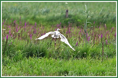 Grande aigrette vol 190706-01-P (paul.vetter) Tags: oiseau ornithologie ornithology faune animal bird échassier grandeaigrette aigrette ardeaalba greategret silberreiher casmerodiusalbus garçabrancagrande
