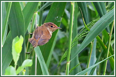 Rousserolle effarvatte 190706-02-P (paul.vetter) Tags: oiseau ornithologie ornithology faune animal bird rousseroleeffarvatte acrocephalusscirpaceus eurasianreedwarbler carricerocomún rouxinolpequenodoscaniços teichrohrsänger