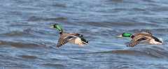 Mallards on the wing (Steve (Hooky) Waddingham) Tags: stevenwaddinghamphotography animal countryside bird british nature flight duck wild wildlife wildfowl photography planet mallard