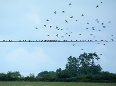 Flock of starlings (Dun.can) Tags: leicestershire countryside summer telegraphline starling flock birds landscape