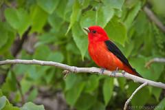 Black-winged Redbird (Doug Scobel) Tags: scarlet tanager piranga olivacea magee marsh spring migration wild bird wildlife nature woods forest reddest red