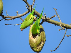 Periquito-de-encontro-amarelo (Alexandre Marino) Tags: periquitodeencontroamarelo brotogerischiriri pássaros aves birds periquitos
