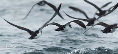 flap,flap,glide (tsd17) Tags: pembrokeshire manx shearwater uk wildlife birds canon 7dmk11 sigma150600c