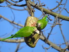 Periquito-de-encontro-amarelo (Alexandre Marino) Tags: periquitodeencontroamarelo brotogerischiriri pássaros birds aves periquitos
