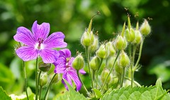 Storchschnäbel (G_E_R_D) Tags: storchschnabel storchschnäbel geranium cranesbill geraniaceae blumen flower floweringplants ooievaarsbek storkenæb