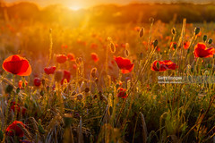 Simply Red (Nick Brundle - Photography) Tags: sunset red field landscape denmark dusk poppy poppies backlit nikon2470mmf28 nikond750 sunlight flower nature tranquility scandinavia wildflower