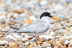 Little Tern (Danny Gibson) Tags: bird birds birdwatching birding birdphotography birder wildlife wildlifephotography wildbirds avian nature naturephotography littletern tern terns wild dgpixorguk canon7dmk2