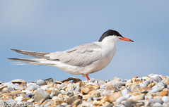 Common Tern (Danny Gibson) Tags: bird birds birdwatching birding birdphotography birder wildlife wildlifephotography wildbirds avian nature naturephotography commontern tern terns wild dgpixorguk canon7dmk2