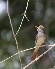 Ash-throated flycatcher - Myiarchus cinerascens - Tyran à gorge cendrée (jimmyenfru) Tags: oiseau oiseaux bird birds pajaro pajaros birdlife birding wild wildlife life worldlife nature ornitho ornithologie ornithology photo photographie photography animal animals animaux canon eos 800d 800 d sigma 150 600 avifaune fauna faune aviaire new mexico nouveau mexique albuquerque biodiversité shot picture g