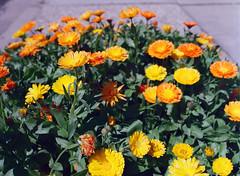 Santa Clara, California (bior) Tags: flowers santaclara california portra portra400uc kodakportra pentax645nii pentax645 6x45cm mediumformat film 120
