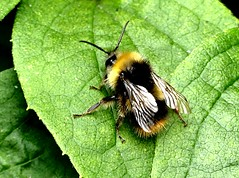 Buff-tailed Bumble Bee 8.7.19 (ericy202) Tags: bufftailed bumble bee bombus terrestris leaf